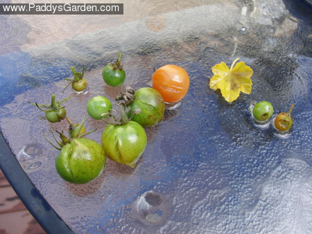 Paddy's tomatoes