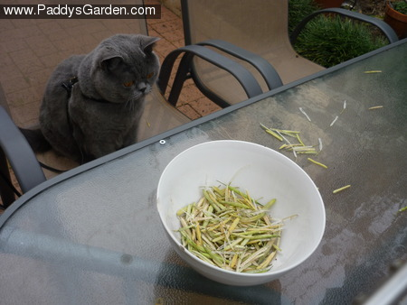 Paddy's bok choy seed pods