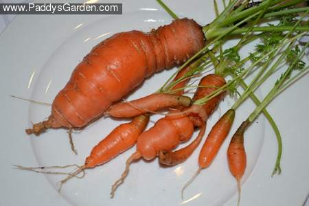 Paddy's knobbly carrots